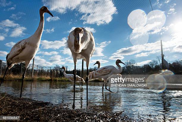 Whooping cranes being raised in captivity before being transferred to Louisiana are seen at the US Geological Survey's Patuxent Wildlife Research...