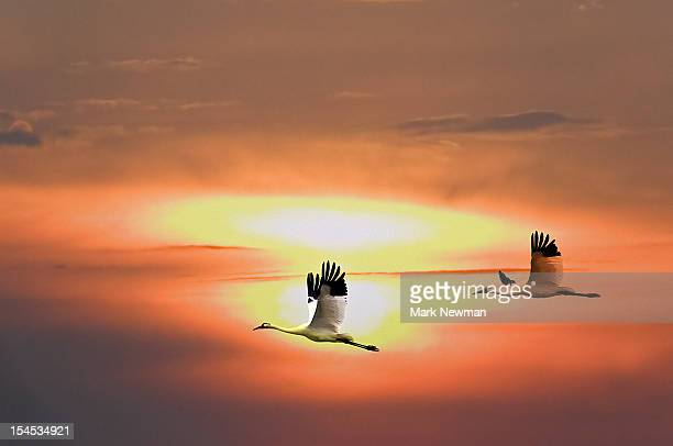 Whooping Cranes (Grus americana) flying & sun