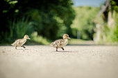 Why did the ducklings cross the road?