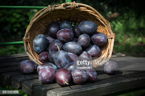 Wicker basket of plums on wooden chair in the garden