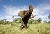 Wide Angle Elephant