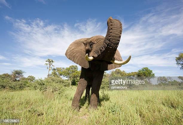Gran ángulo elefante