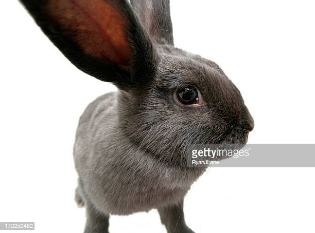 Wide Angle Gray Bunny Rabbit with Copy Space