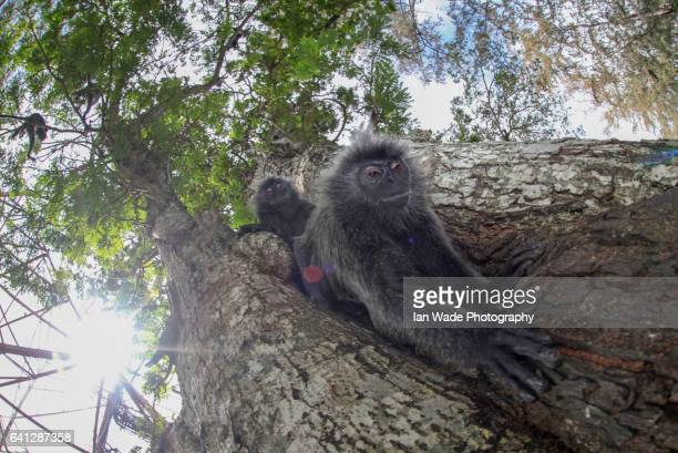 Wide angle photography of a Silvery Lutung Monkey climbing out of a tree at Kuala Selangor Nature Park in Malaysia