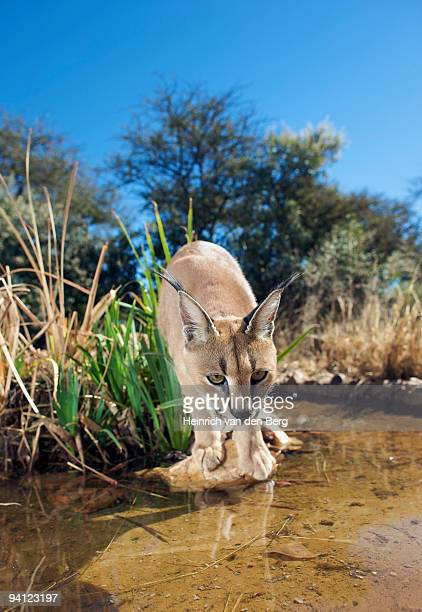 Wide angle view of a  Caracal (Felis Caracal) looking at water