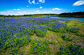 A Wide Angle View of a Beautiful Field or Meadow Blanketed with the Famous Texas Bluebonnet (Lupinus texensis) Wildflowers.  An Amazing Display at Muleshoe Bend on the Colorado River in Texas.