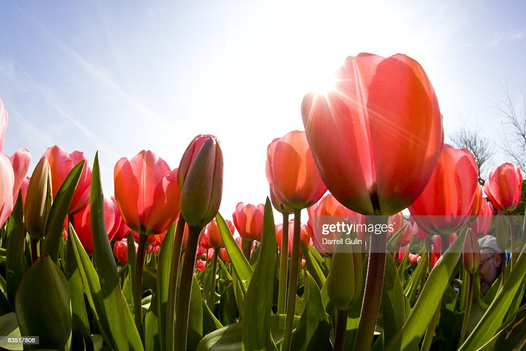 Wide angle view of Red Tulip Field : Stock Photo