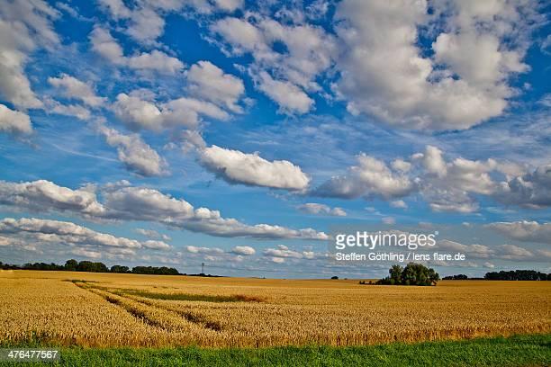 Wide cornfield