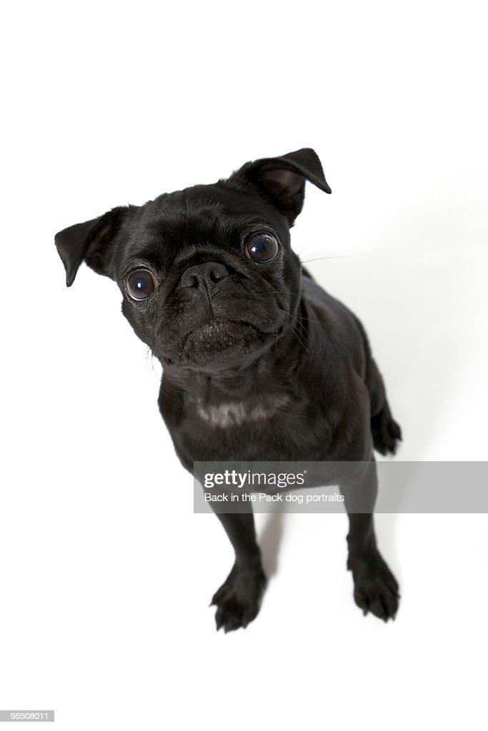 Wide eyed black pug puppy dog sitting on white : Stock Photo