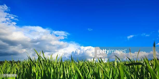 Große grüne Feld