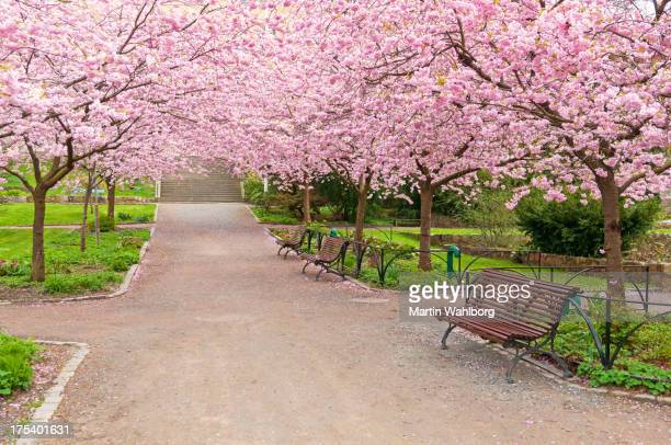 A wide park alley with blooming cherry trees