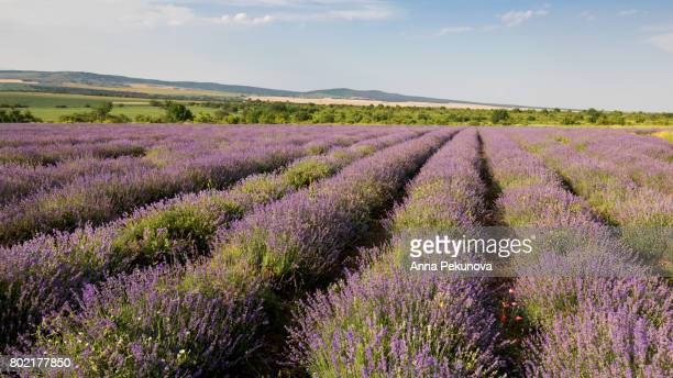 Wide view of lavender field