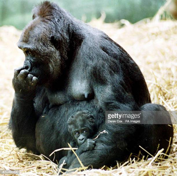 Wideeyed eight week old Dishi sits in the arms of her mother Kishi at the Grand Opening of Port Lympne Wild Animal Park's 800000 facility 'Palace of...