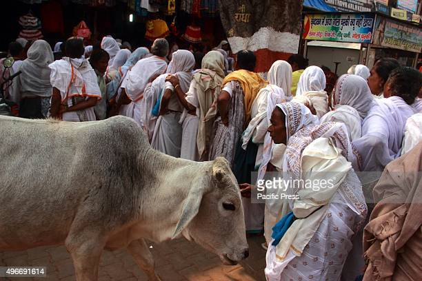 Widow takes bless from cow which is called mother in India on Tuesday in Vrindavan India Hundreds of widows celebrates 'Diwali' at the bank of Yamuna...