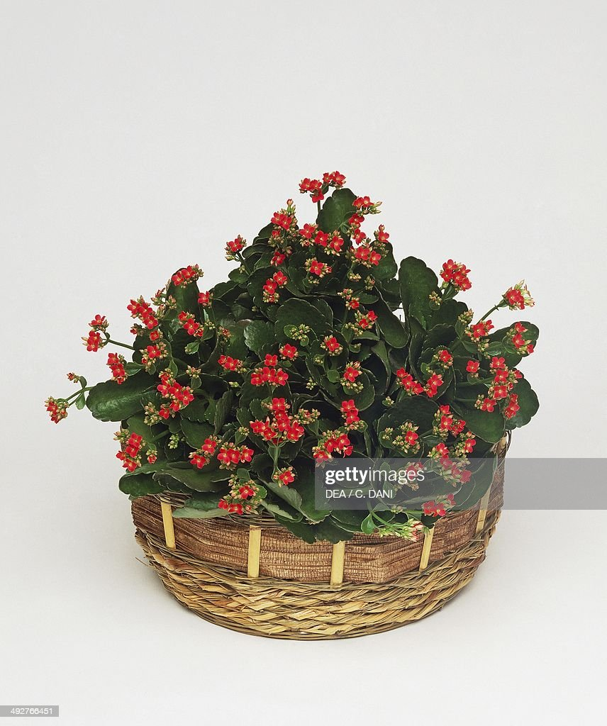 Widow's-thrill or Palm-Beach bells (Kalanchoe sp), Crassulaceae.