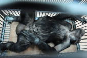 Wild 30yearold chimpanzee named Zhuangzhuang rests after medical staff carried out artificial insemination her at Nanchang Zoo on April 15 2009 in...