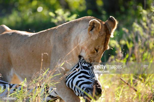 Wild African Lioness and Zebra Kill