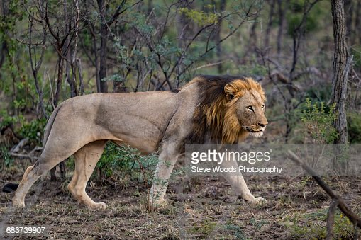 Male lion stalking prey - photo#12