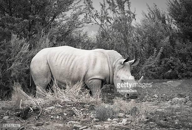 Africano salvaje blanco Rhino.