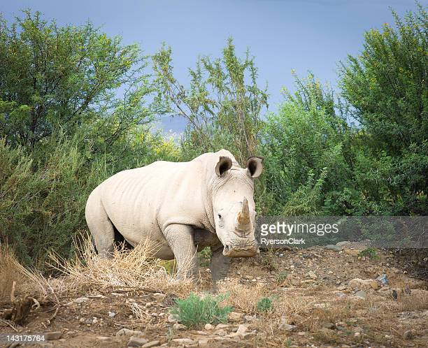 Wild African White Rhino, South Africa.