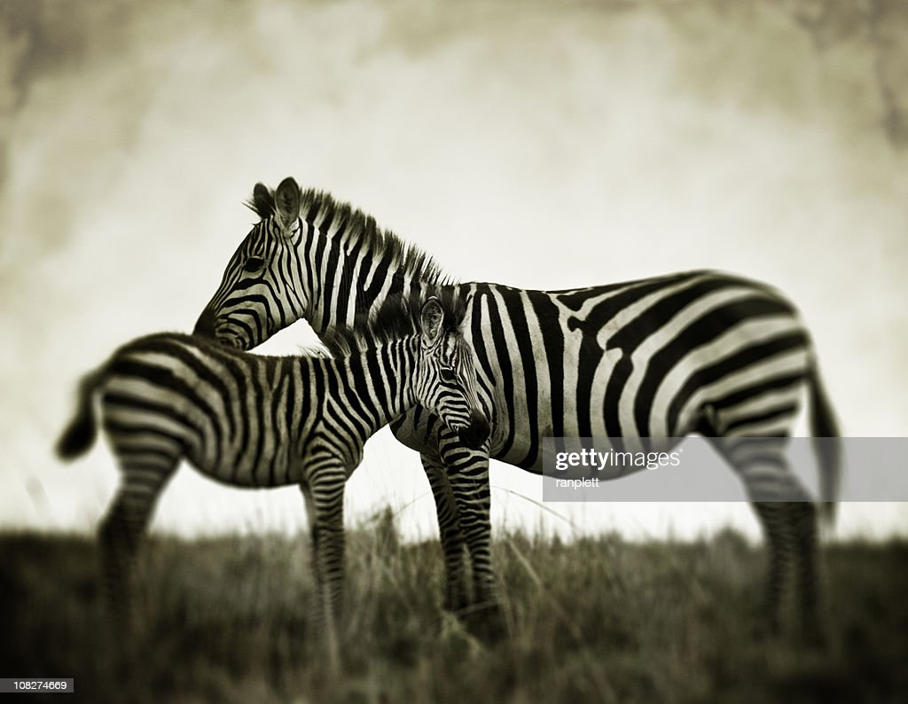 Zebras in the Wild : Stock Photo