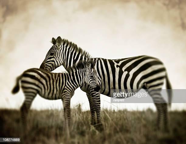 Wild African Zebras