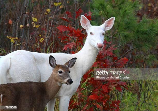 Wild Albino whitetail  deer