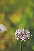 Wild allium ursinum in bloom.
