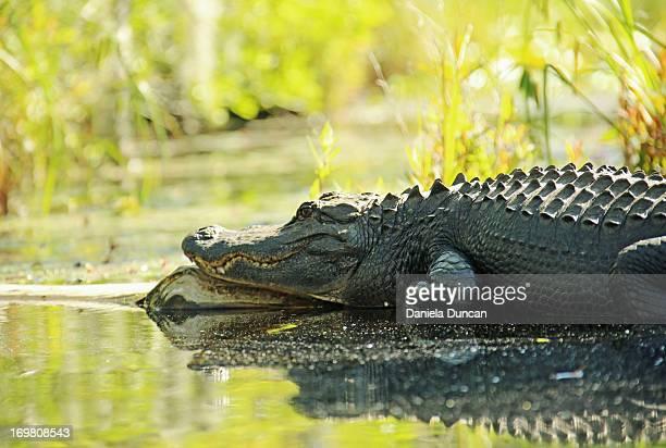 Wild American alligator