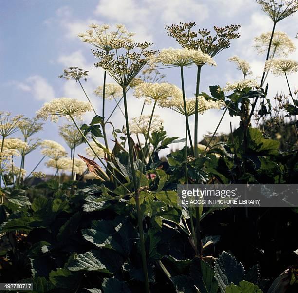 Wild Angelica Apiaceae