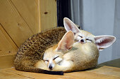 Two little fennec kitten sleep together in the contact zoo in Asia, Thailand. Another little animal came to hug them. Cute photo of the wild animals indoors.
