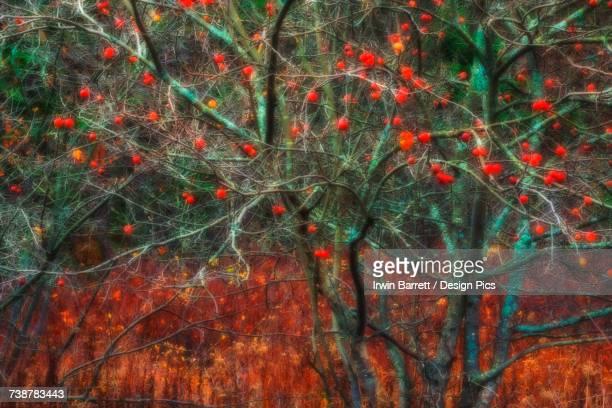 Wild apple tree in November