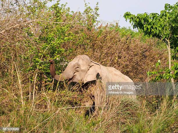 Wild Asian elephant in Bardia, Nepal