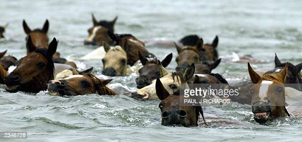 Wild Assateague ponies and foals swim in the Assateague Channel 30 July 2003 crossing to Chincoteague Virginia where several of the foals will be...