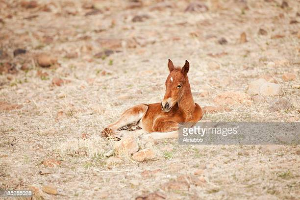 Wild baby horse (foal) in Nevada desert