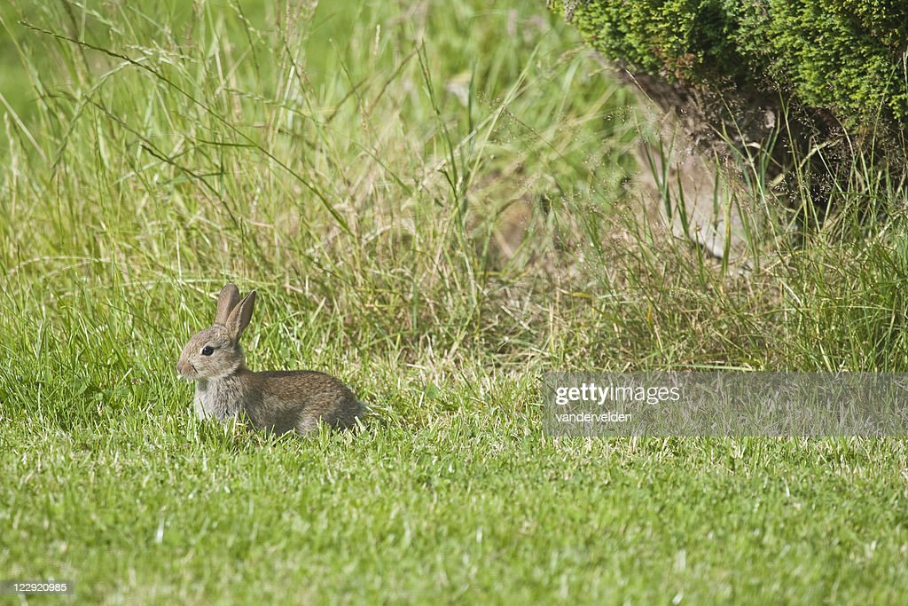 Wild Baby Rabbit : Stock Photo