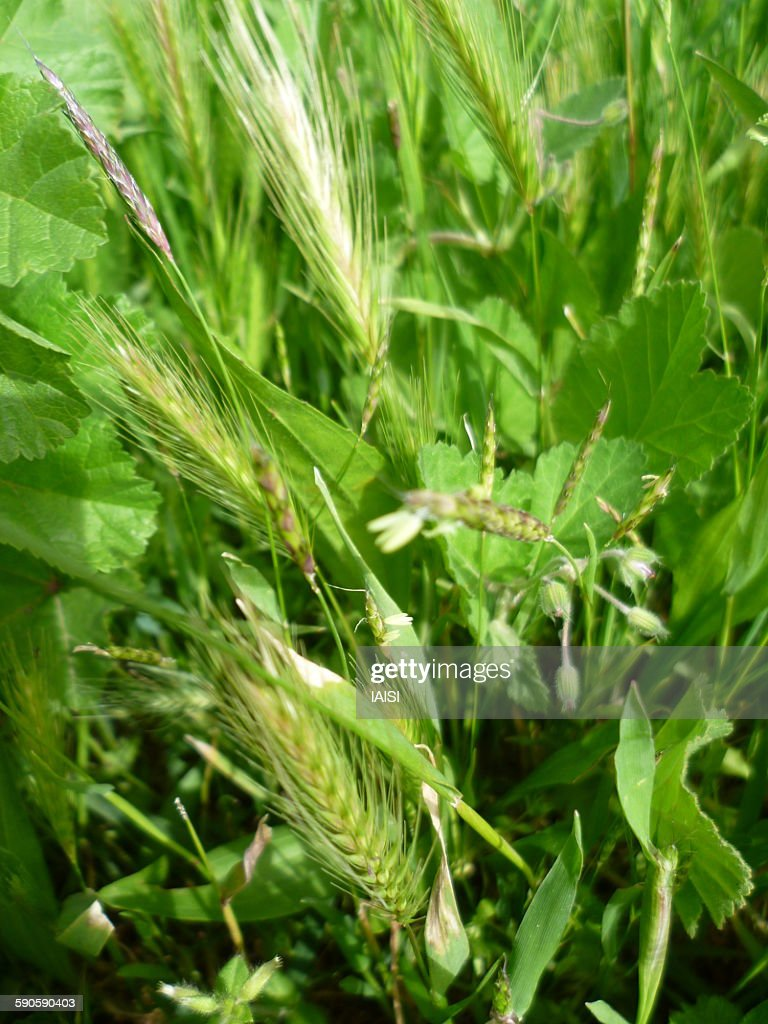 Wild barley, the mother of cultivated barley