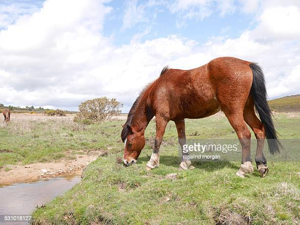 wild bay horse grazing new forest national park