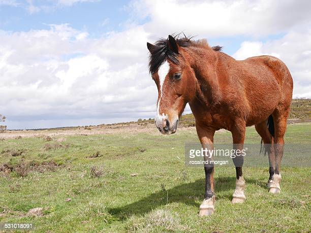 Wild bay horse standing new forest national park