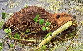 Wild Beaver Working Hard