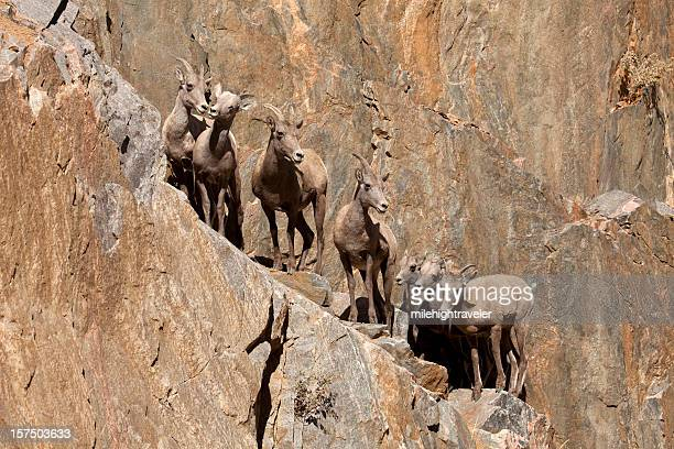 Herd of wild bighorn sheep on cliff face, Colorado