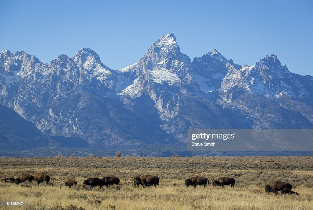 Wild Bison graze with backdrop of Grand Tetons