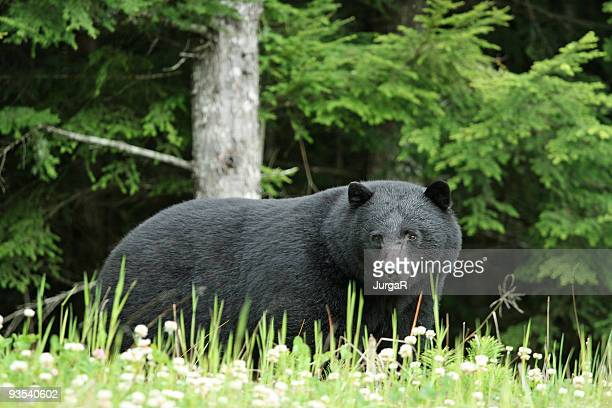 Wild Black Bear in a Forest in Canada