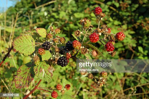 Wild Blackberries : Stock Photo