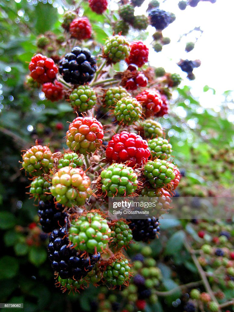 Wild blackberries ripening in a hedgerow : Stock Photo