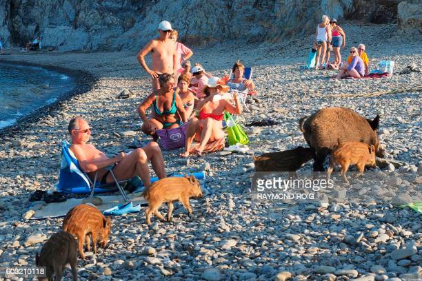 A wild boar and her piglets arrive on a beach to cool off in sea water whilst people sunbath on September 12 2016 in Cerbere southwestern France /...