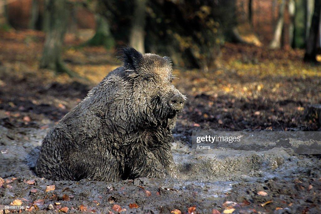 Wild boar covered in mud taking a mudbath in quagmire Belgian Ardennes Belgium