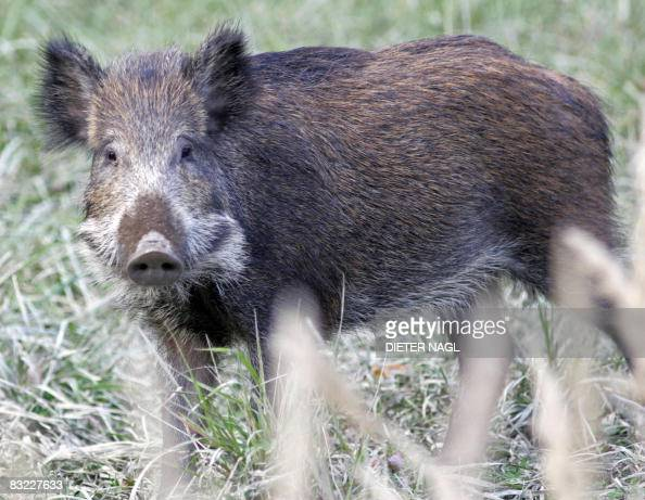 A wild boar cub is pictured on October 11 2008 in the Lainzer Tiergarten a 25 square kms growth forest west of Vienna that was constituted more than...
