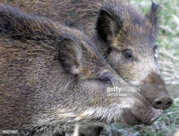 Wild boar cubs are pictured on October 11 2008 in the Lainzer Tiergarten a 25 square kms growth forest west of Vienna that was constituted more than...