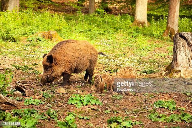 Wild boar famille